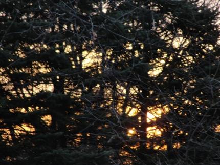 Spruce Sunrise DSC03603
