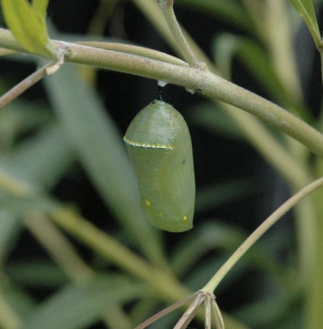 Monarch Butterfly Chrysalis Photo by Armon, Licensed via Wikimedia Commons