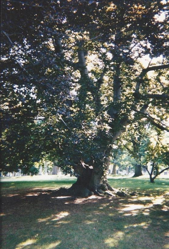 Beech Tree 133650000