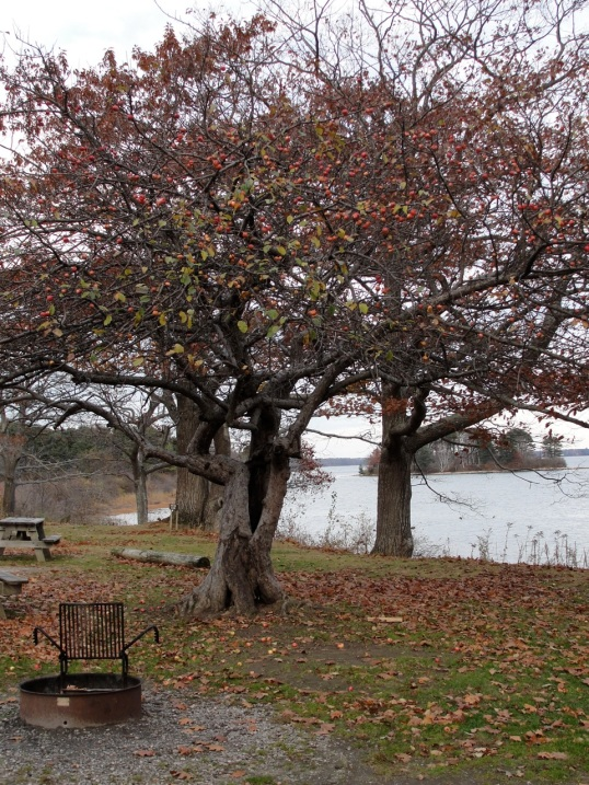 Apple Tree Fall DSC01738
