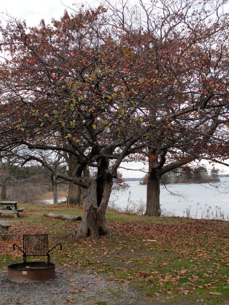 Apple Tree Fall DSC01738