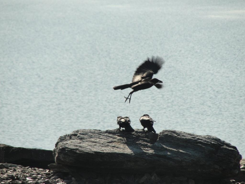 Crows on Rock DSC02131