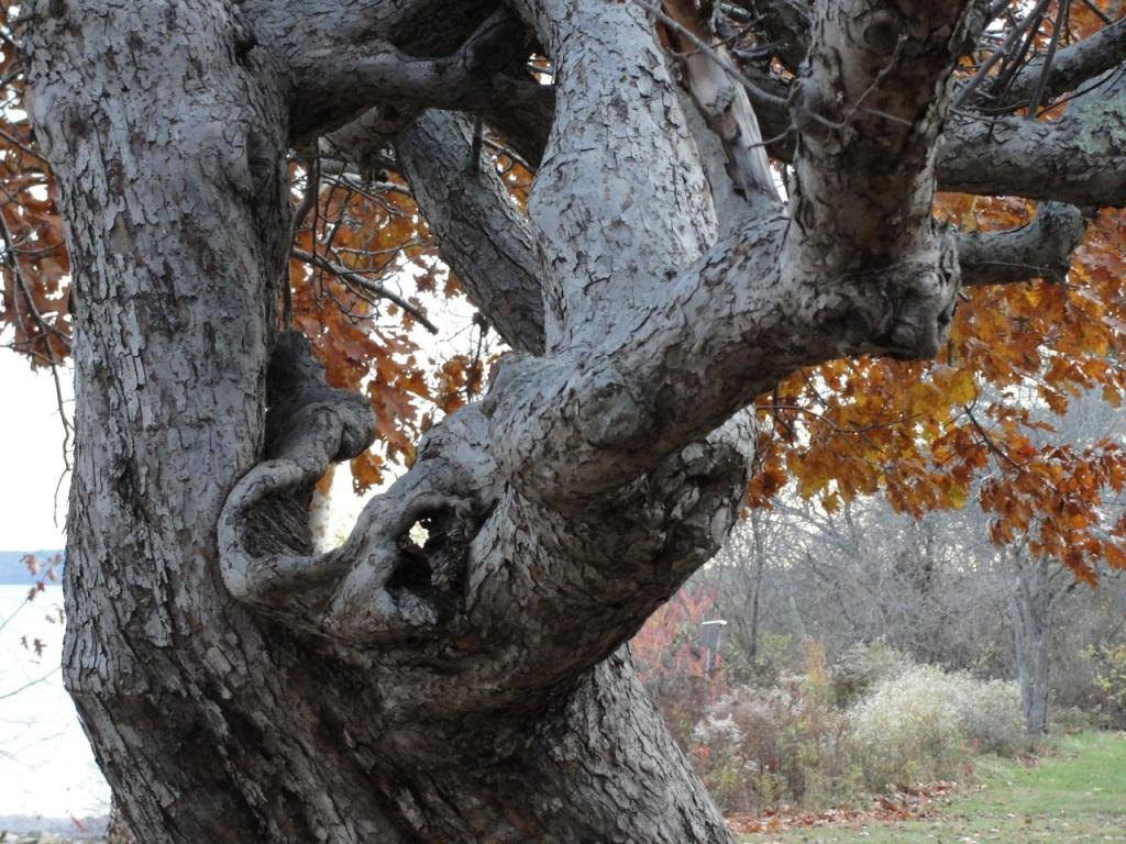Gnarled Apple Tree DSC01742