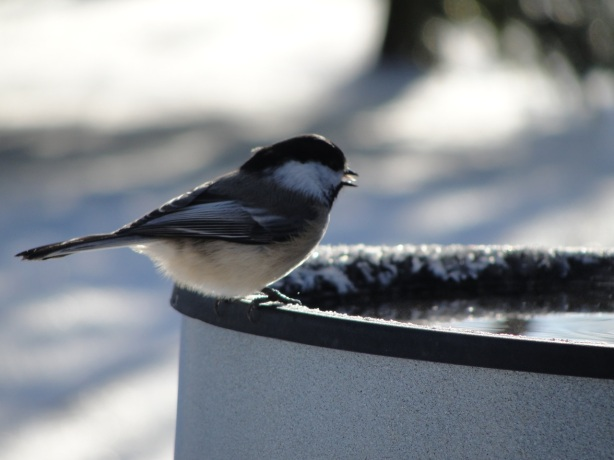 Chickadee at Bird Bath MJ DSC00964