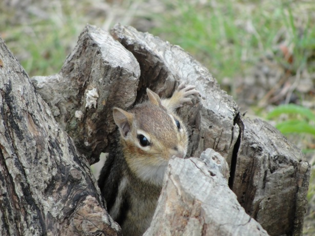 Chipmunk in Log MJ DSC04989
