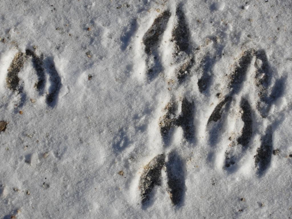 Deer Tracks MJ DSC01675