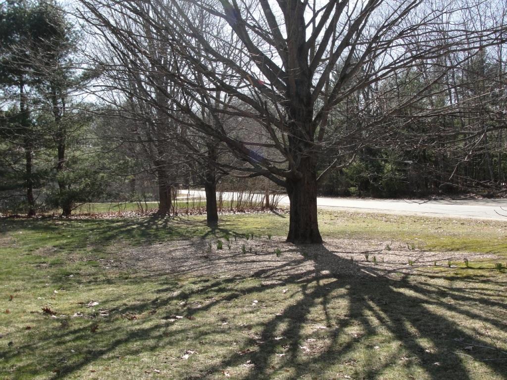 Maple in Spring MJ DSC03502