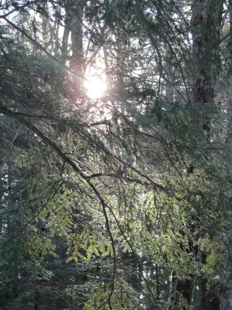 Sun in Trees DSC01708