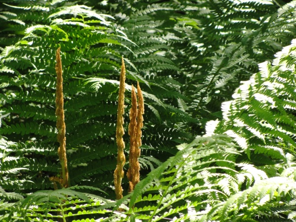 Ferns Full grown DSC05279