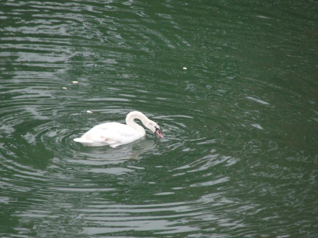 Swan in water MJ DSC09904