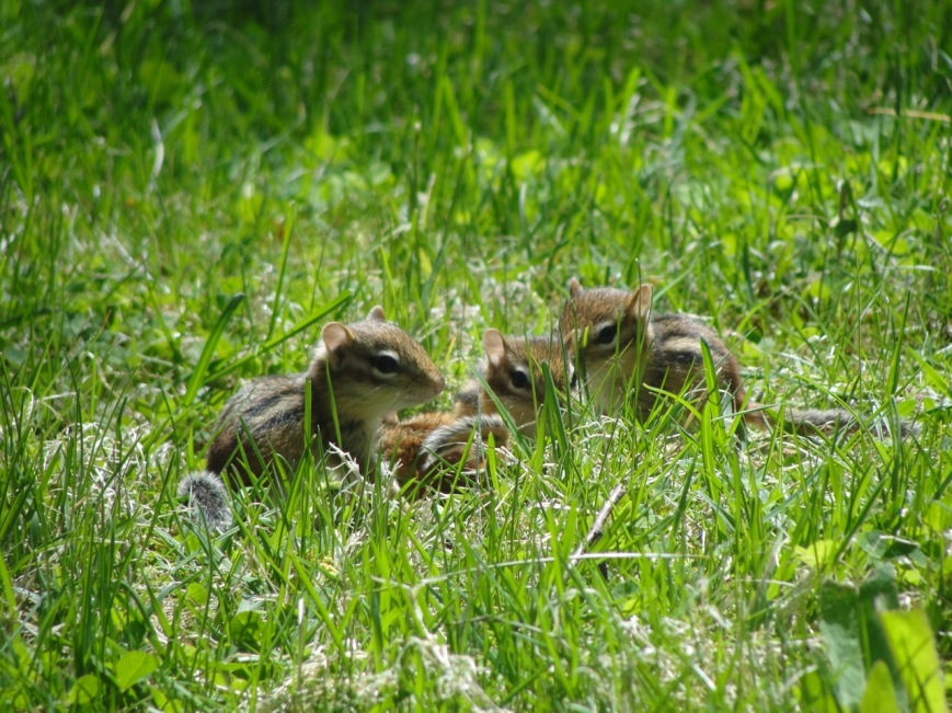 Chipmunks DSC06513