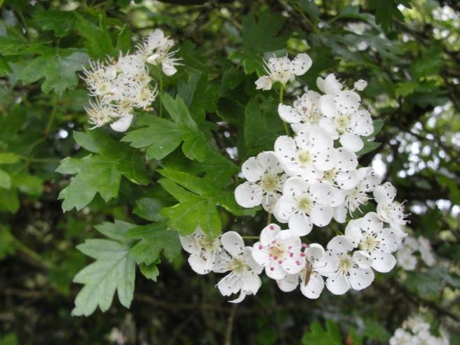 Hawthorn flowering MJ DSC07671