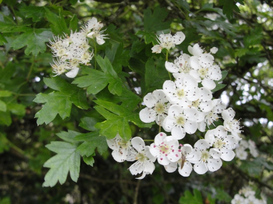 Hawthorn flowering MJ DSC07671