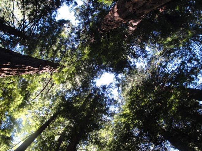 Redwood Sky DSC06718