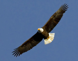 Bald Eagle, photographer unknown