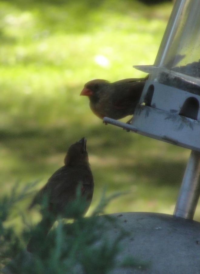 Cardinal Feeding MJ DSC00761