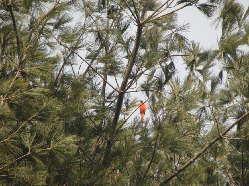 Cardinal at our new home