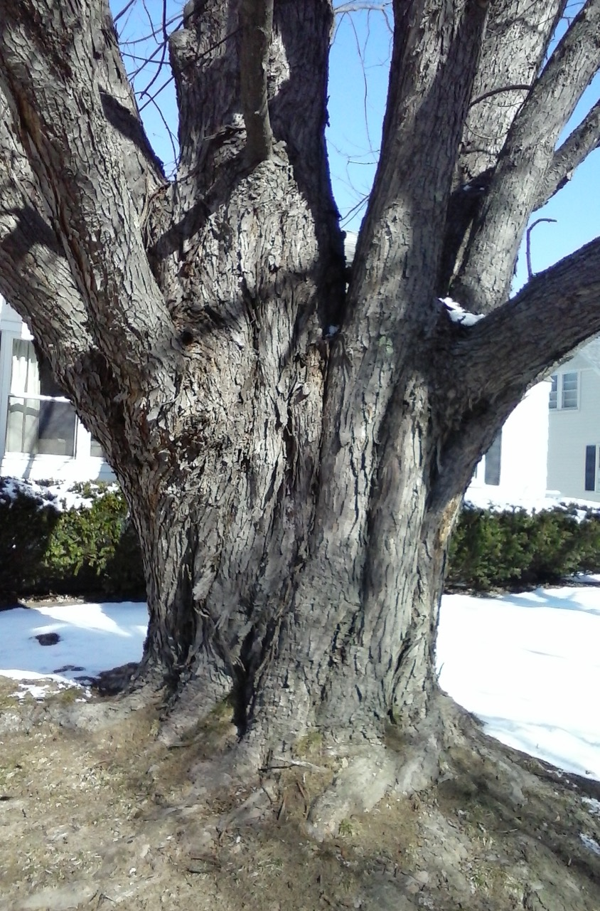 Old Grandmother Tree