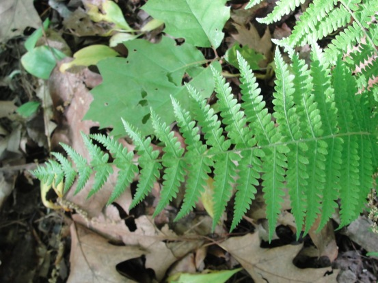 Fern Three