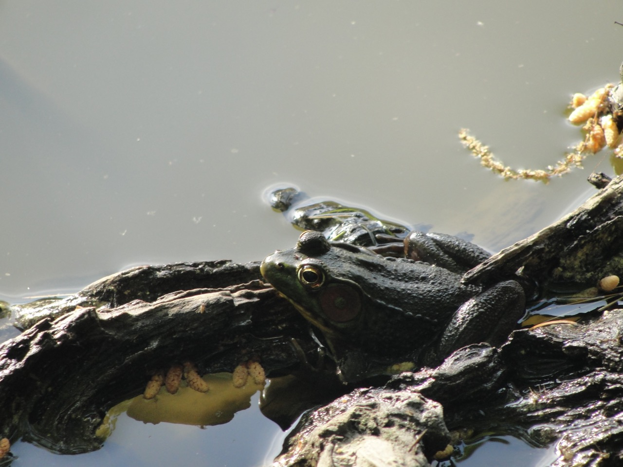 Frog in camouflage
