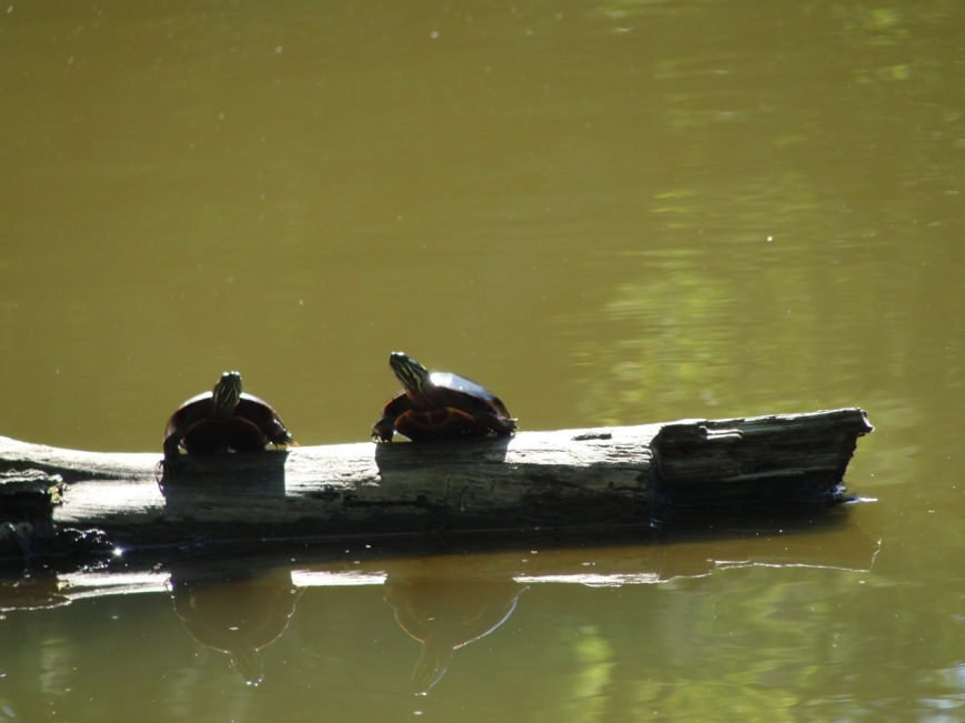 Turtle Buddies