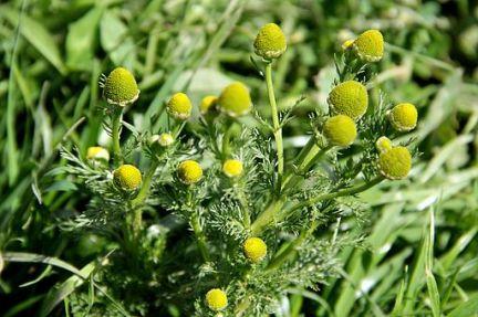 wild-chamomile