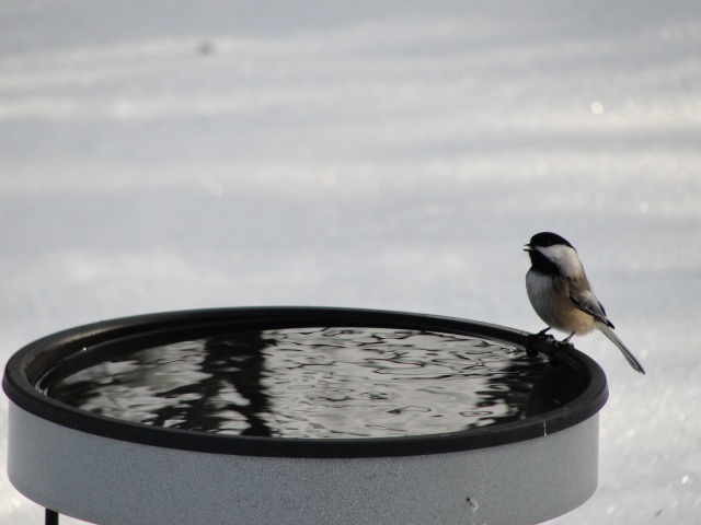 chickadee-bird-bath-mj-dsc00898