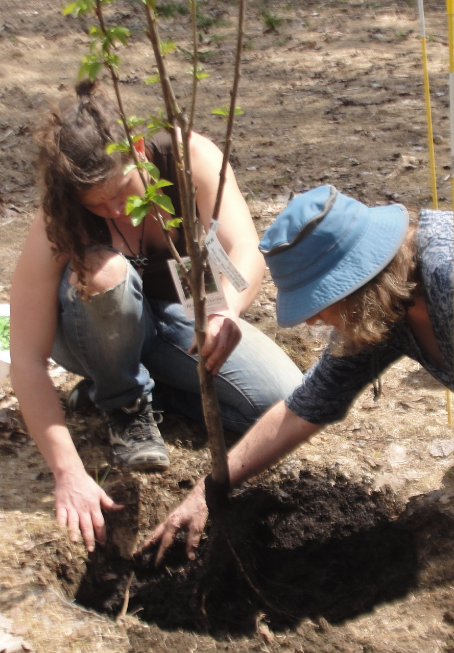 Cherry Planting Hands in Dirt