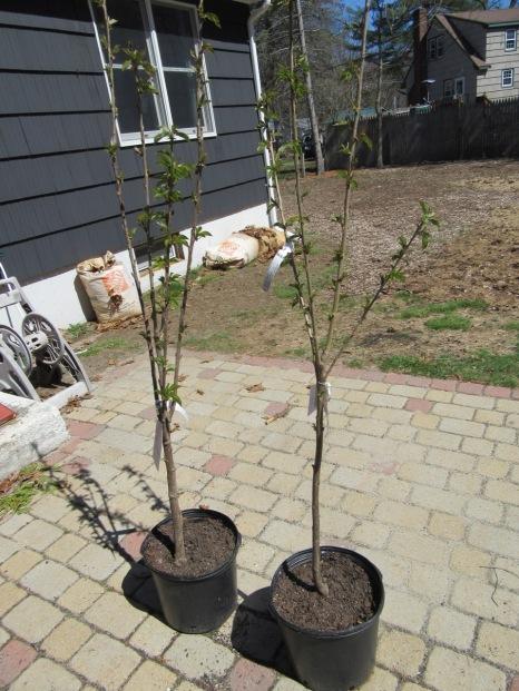 Cherry Trees in pots