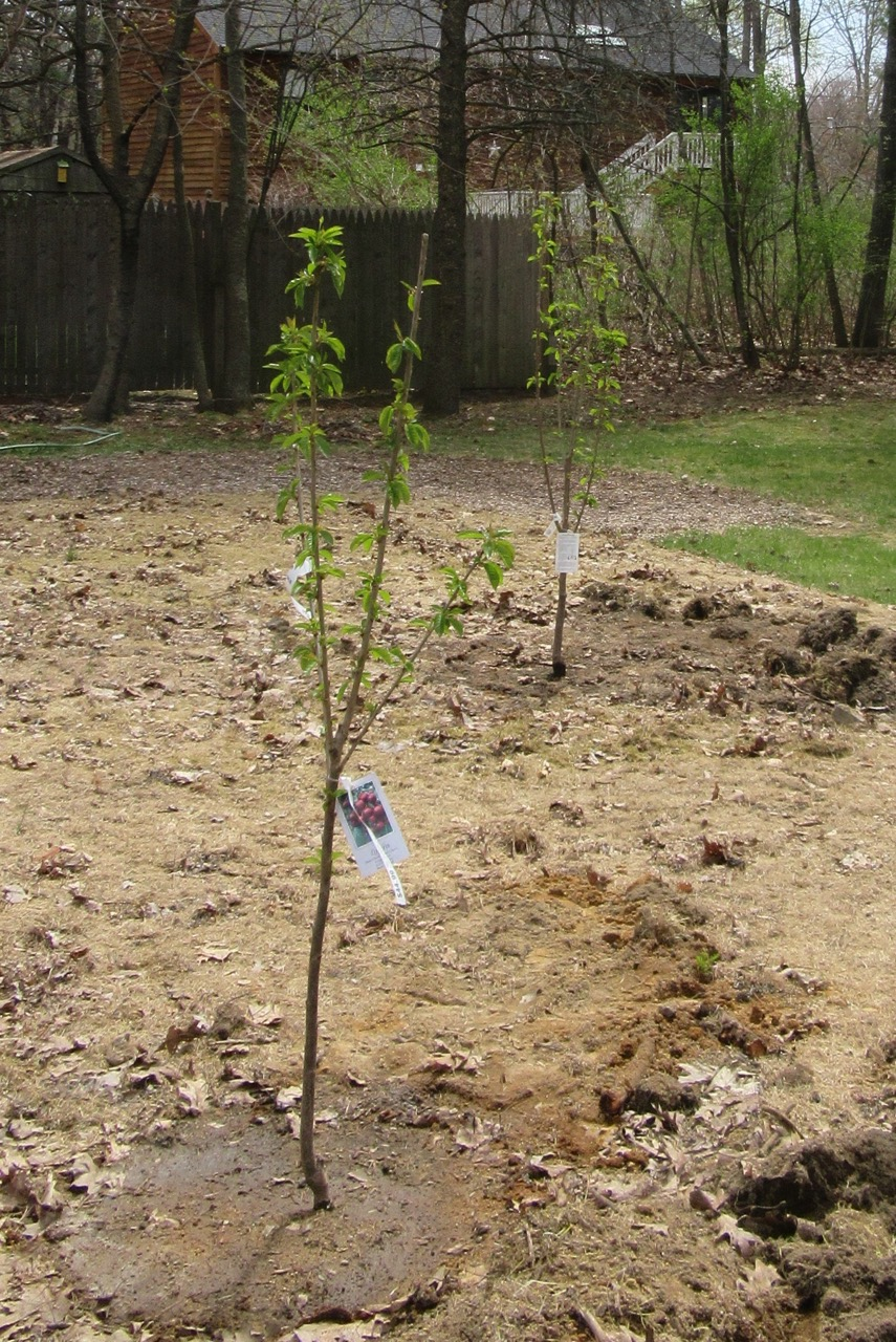 Cherry Trees in the Ground