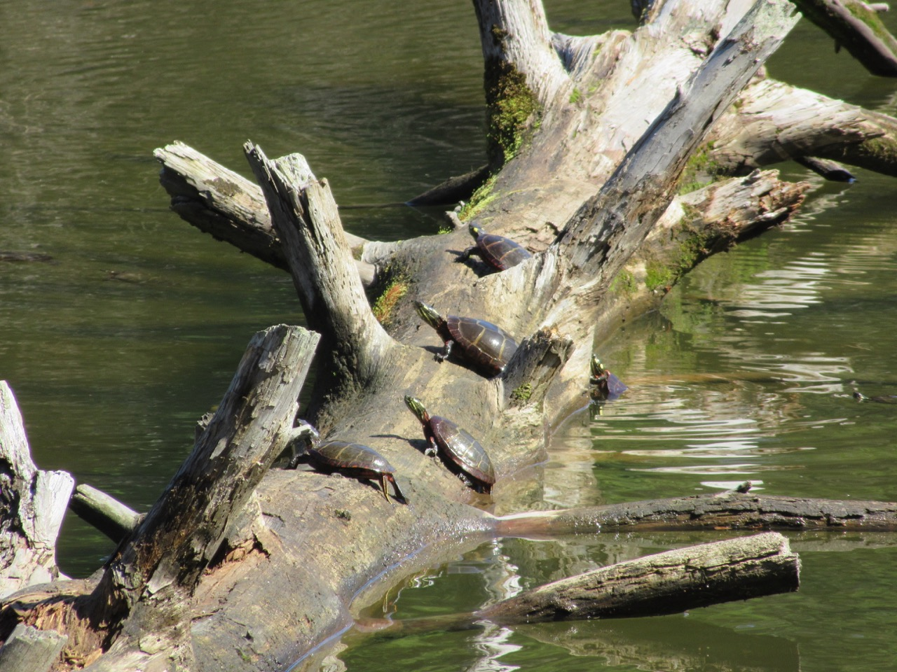 Turtles on the Log