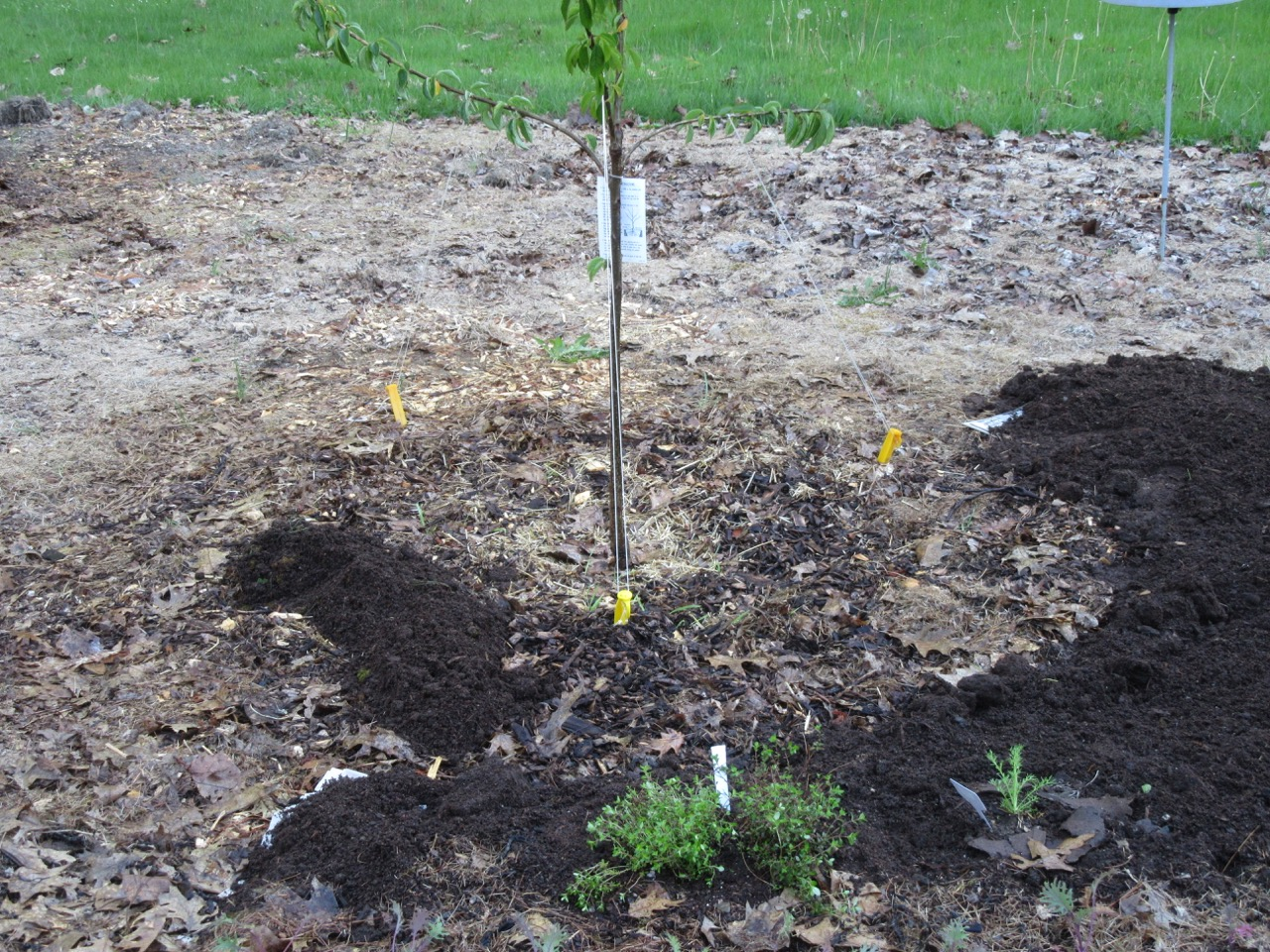 Cherry with new underplantings