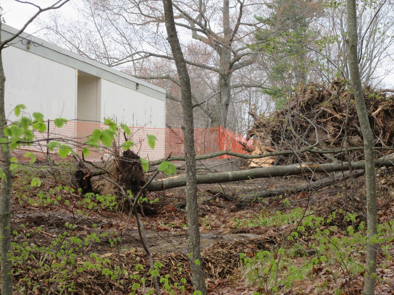 Hall School Tree Cutting 1