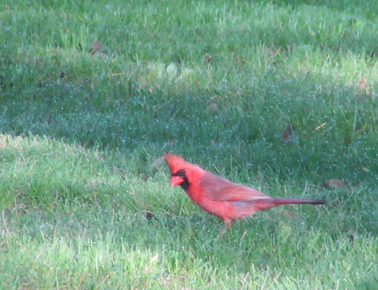 Young Cardinal 1 – Version 2