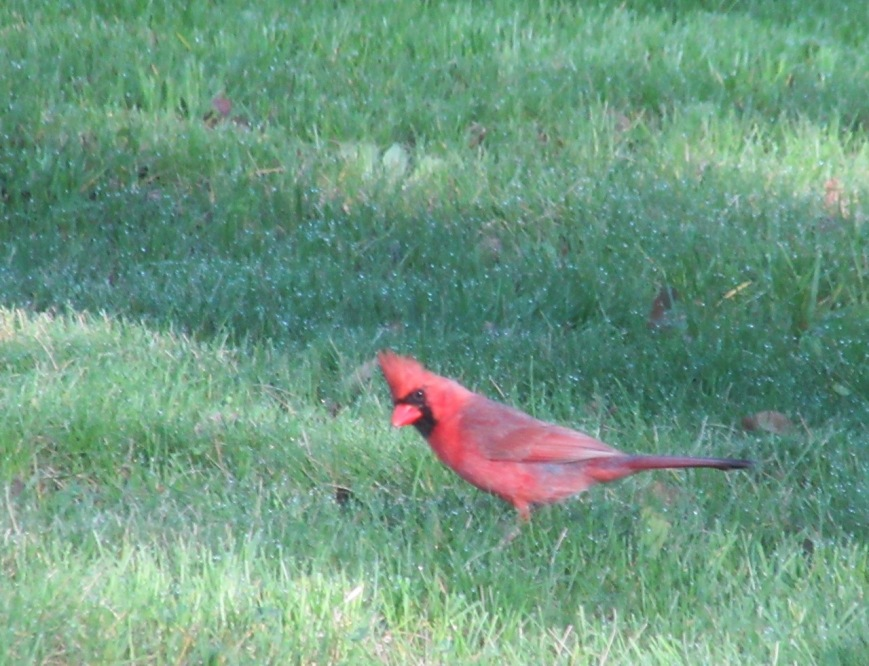 Young Cardinal 1 – Version 2