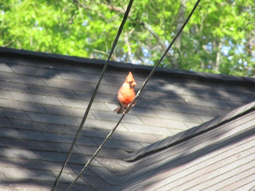 Young Cardinal 2