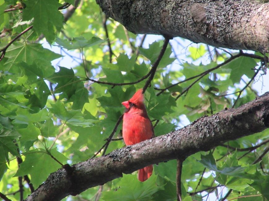 Young Cardinal 3