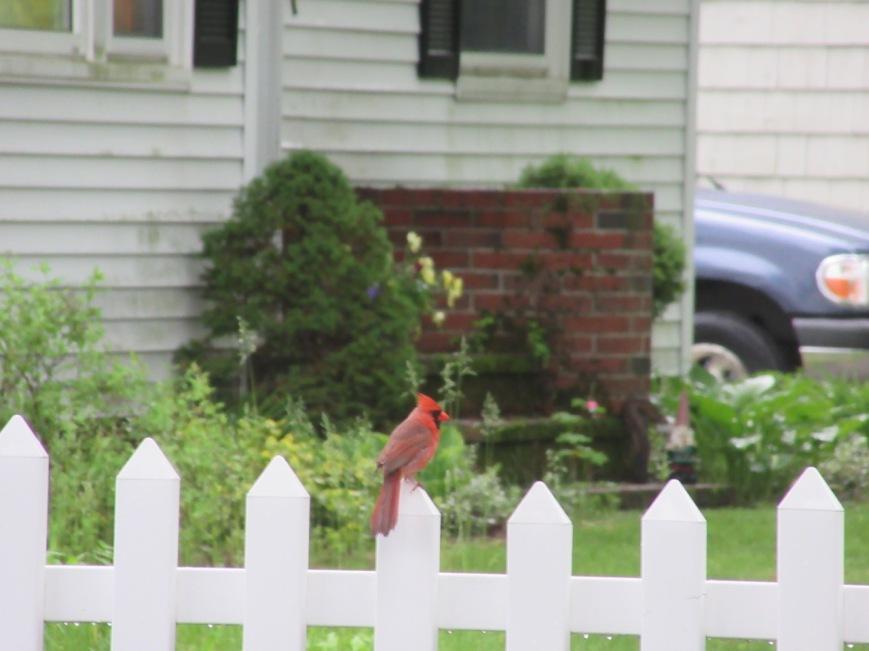 Young Cardinal 4