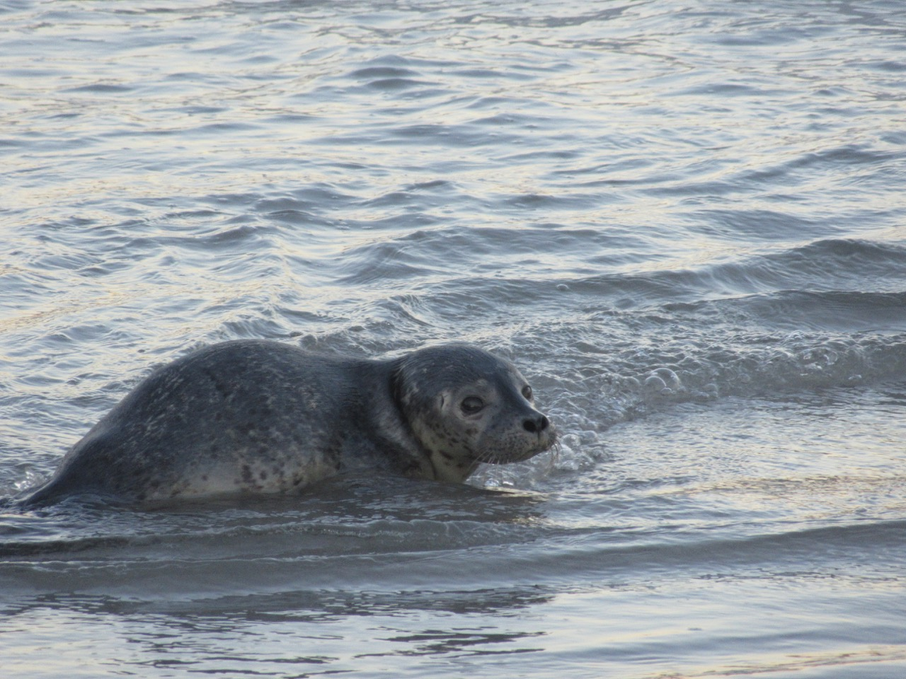Seal Pup-one last look