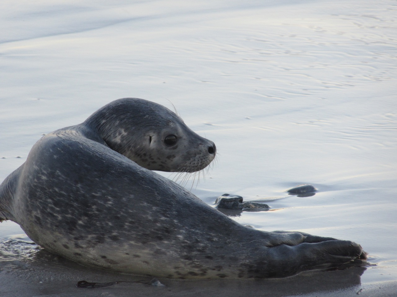 Seal Pup turns to go back in the water