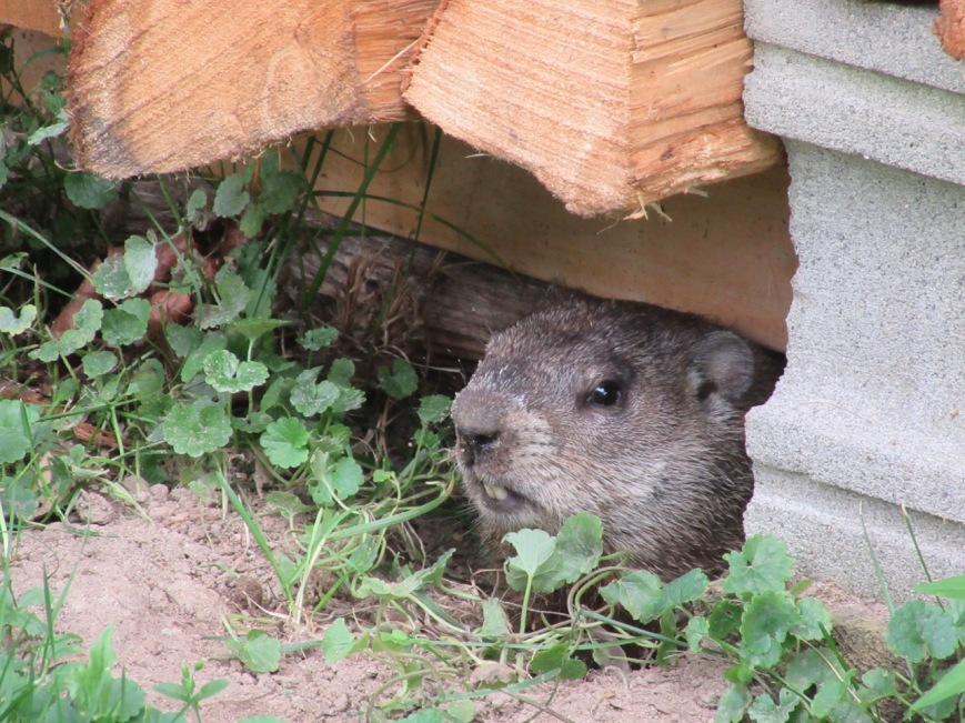 Woodchuck hiding under woodpile