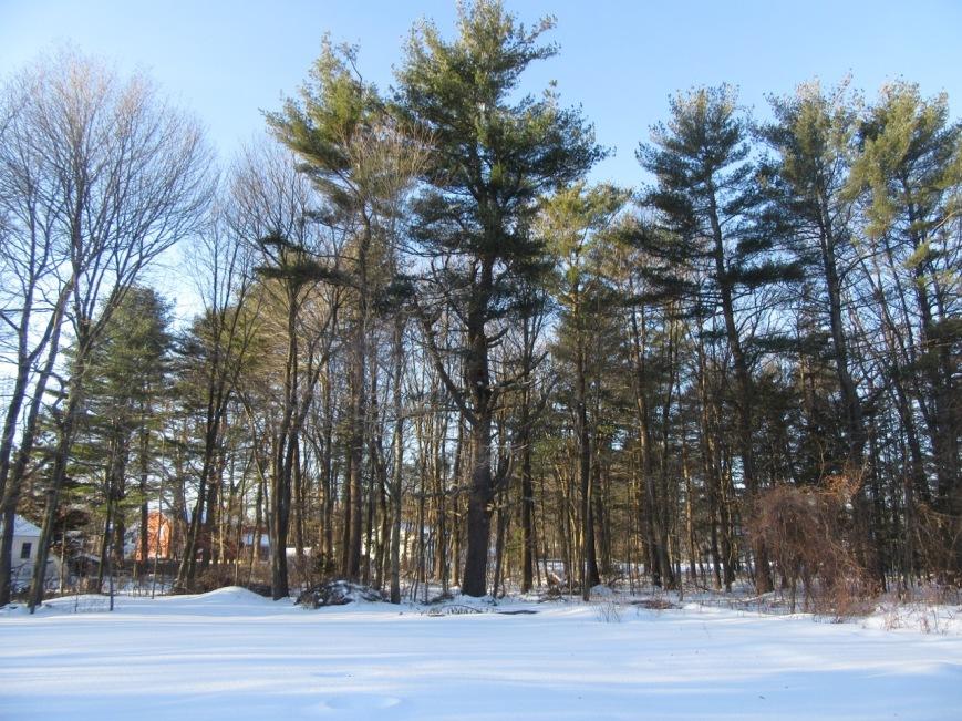 White pine family