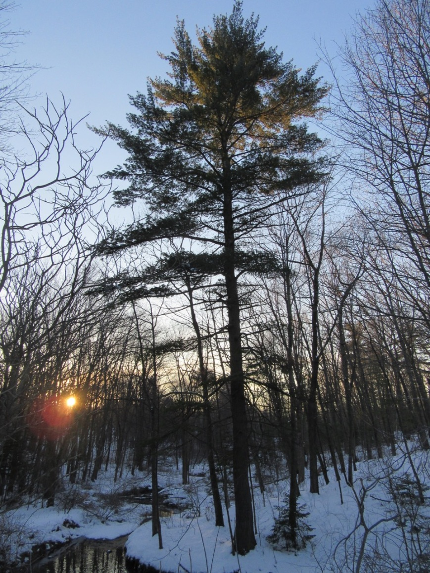 White Pine near Capisic