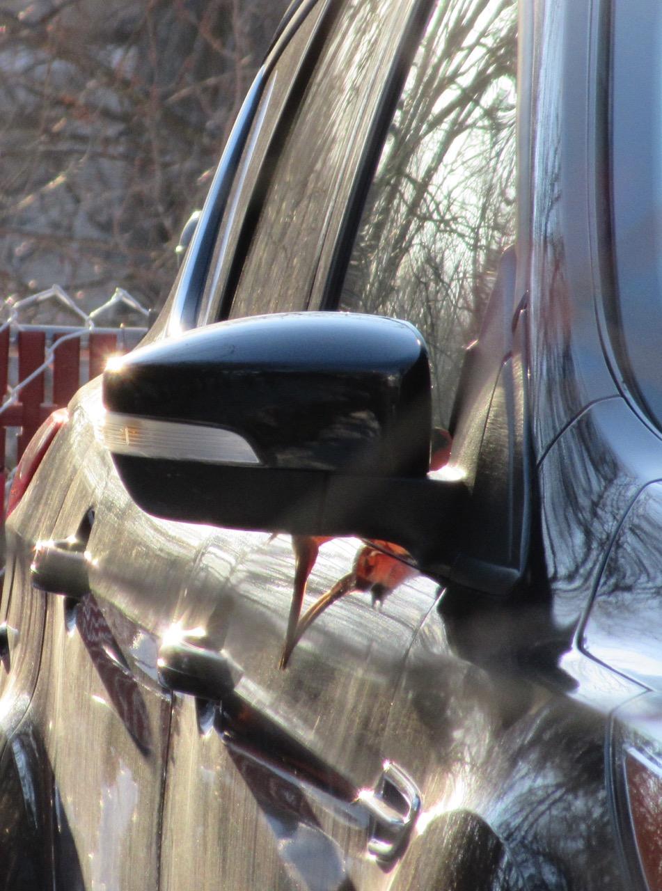 Cardinal looking at side mirror – Version 2