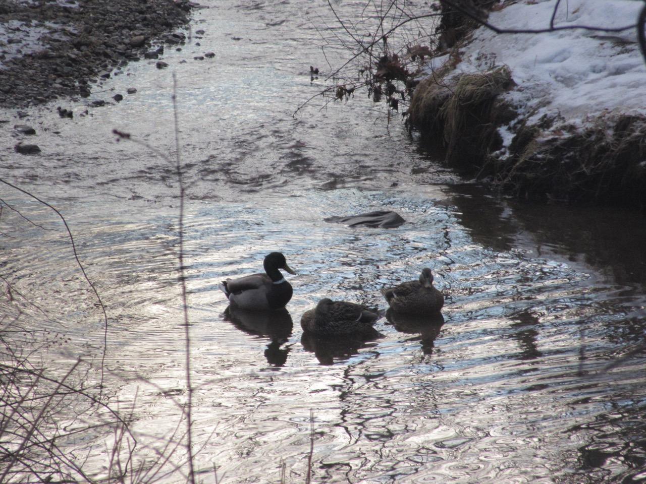 Ducks in Brook