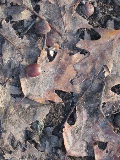 Red Oak Leaves Acorns