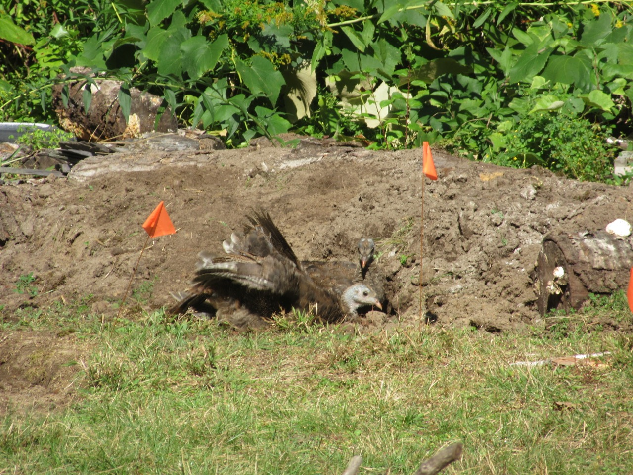 Turkeys in dirt