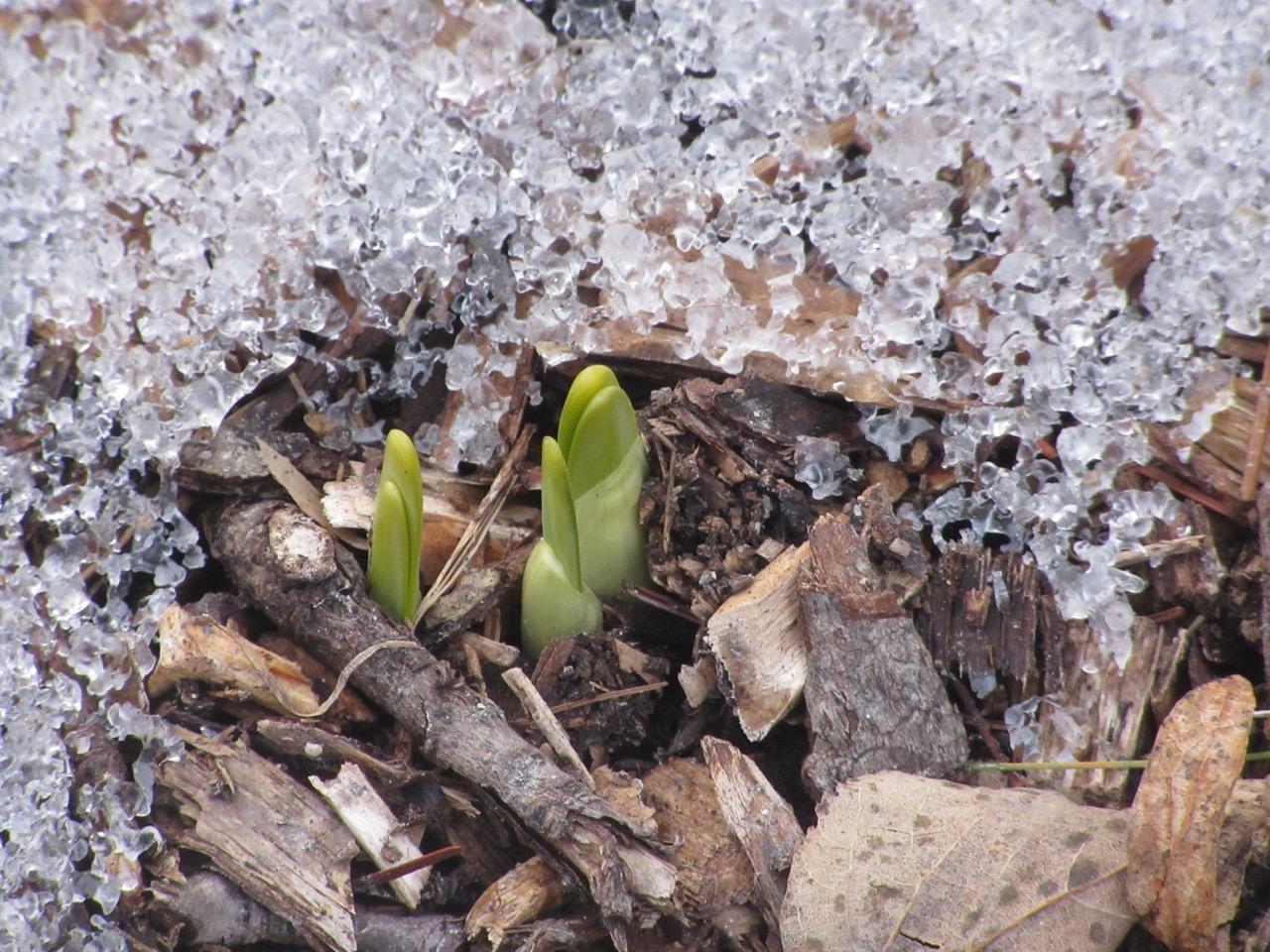 Daffodil shoots