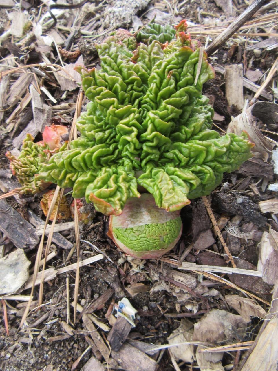 Rhubarb opening