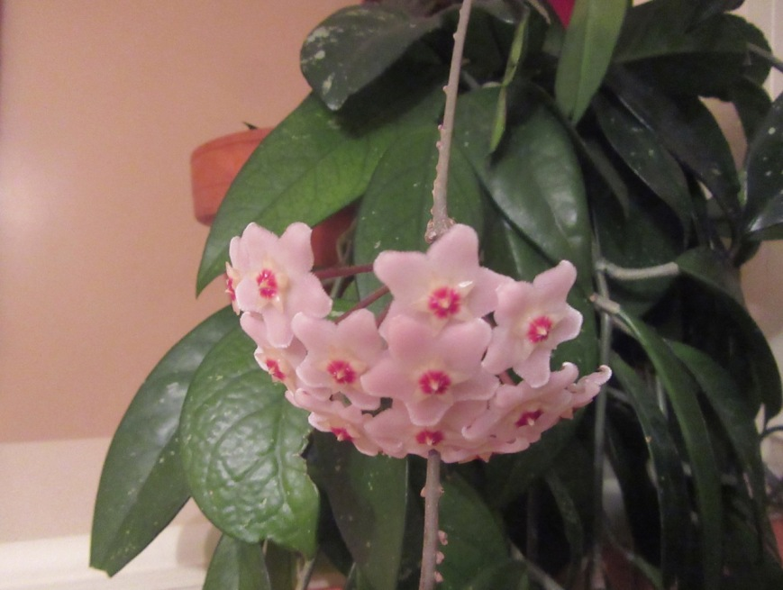 Hoya Plant bloom